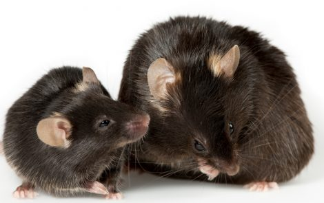 Mitochondrial Gene May Be Linked to Obesity in Adulthood, Mouse Study Reports